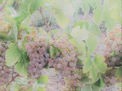 uva bianca C'era Una volta
